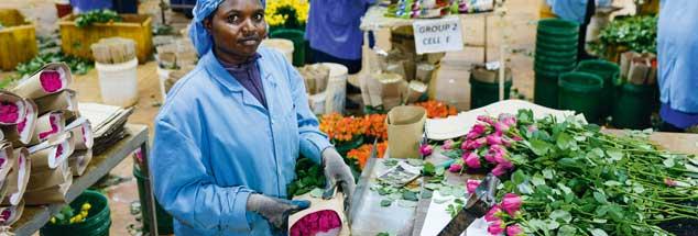 Das Dilemma des Fairen Handels: Blumen müssen in Europa günstig angeboten werden, mit dem Erlös lassen sich aber die Bedingungen für die Blumenarbeiterinnen in Afrika nicht deutlich verbessern (Foto: fairtrade.de/Joerg Boethling)