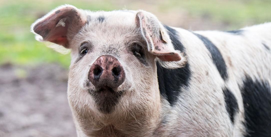 Freut sich das Bentheimer Schwein, schmeckt seine spätere Existenzform als Wurst um so besser (Foto: istockphoto/gebut)