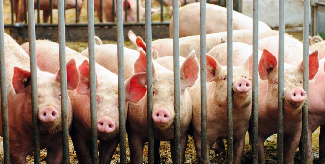 Alles bio? Auch Schweine aus Ökobetrieben landen in konventionellen Großschlachtereien (Foto: pa/Willinger)