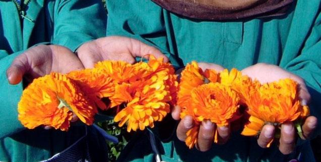 Ägyptische Biolandwirtschaft als Projekt: Am Vormittag pflücken Arbeiterinnen aus den umliegenden Dörfern leuchtend orange Ringelblumen auf den Feldern.(Foto: sekem/kafi)