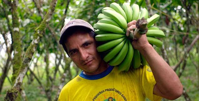 Bananen aus fairem Handel: Das Siegel des Vereins TransFair garantiert soziale Standards bei der Produktion, manchen großen Fairtrade-Importeuren sind sie zu niedrig. (Foto: pa/Fairtrade)