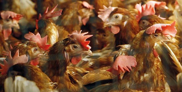 Dicht an dicht: Hühner in der Bodenhaltung (Foto: PA/DPA/Bernd Settnik)