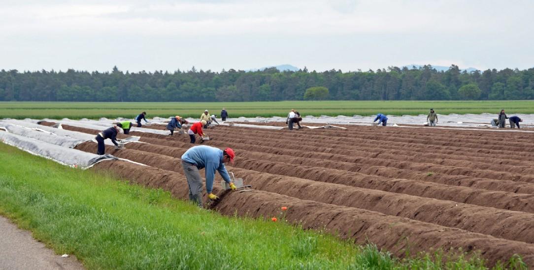 Auf deutschen Spargelfeldern arbeiten meist Saisonkräfte aus dem Ausland (Foto: istockphoto/SkyF)